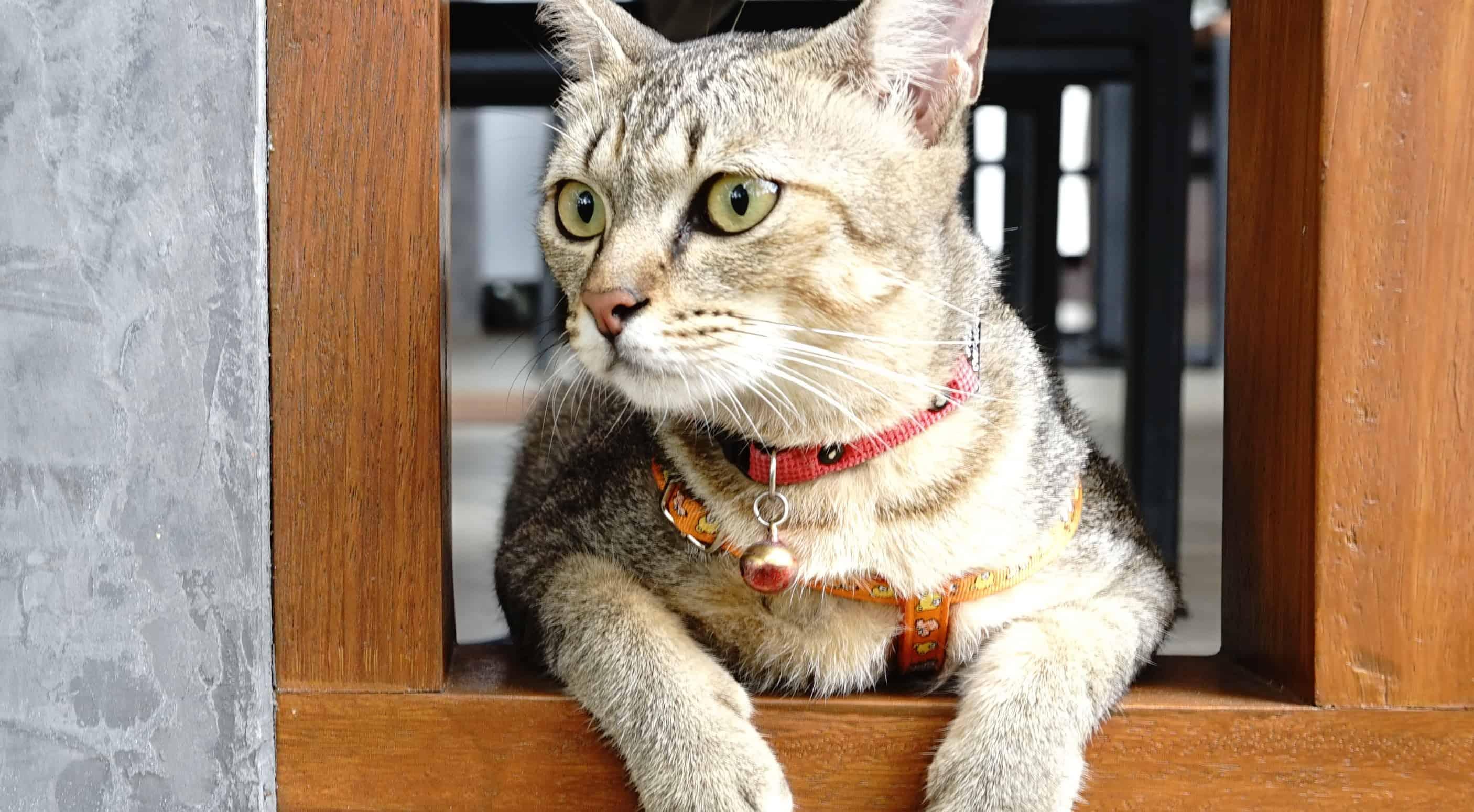 Miglior collare per gatto 2020: Guida all'acquisto