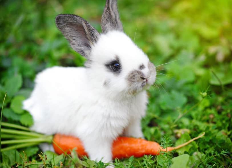 cibo-per-conigli-nani-xcyp1