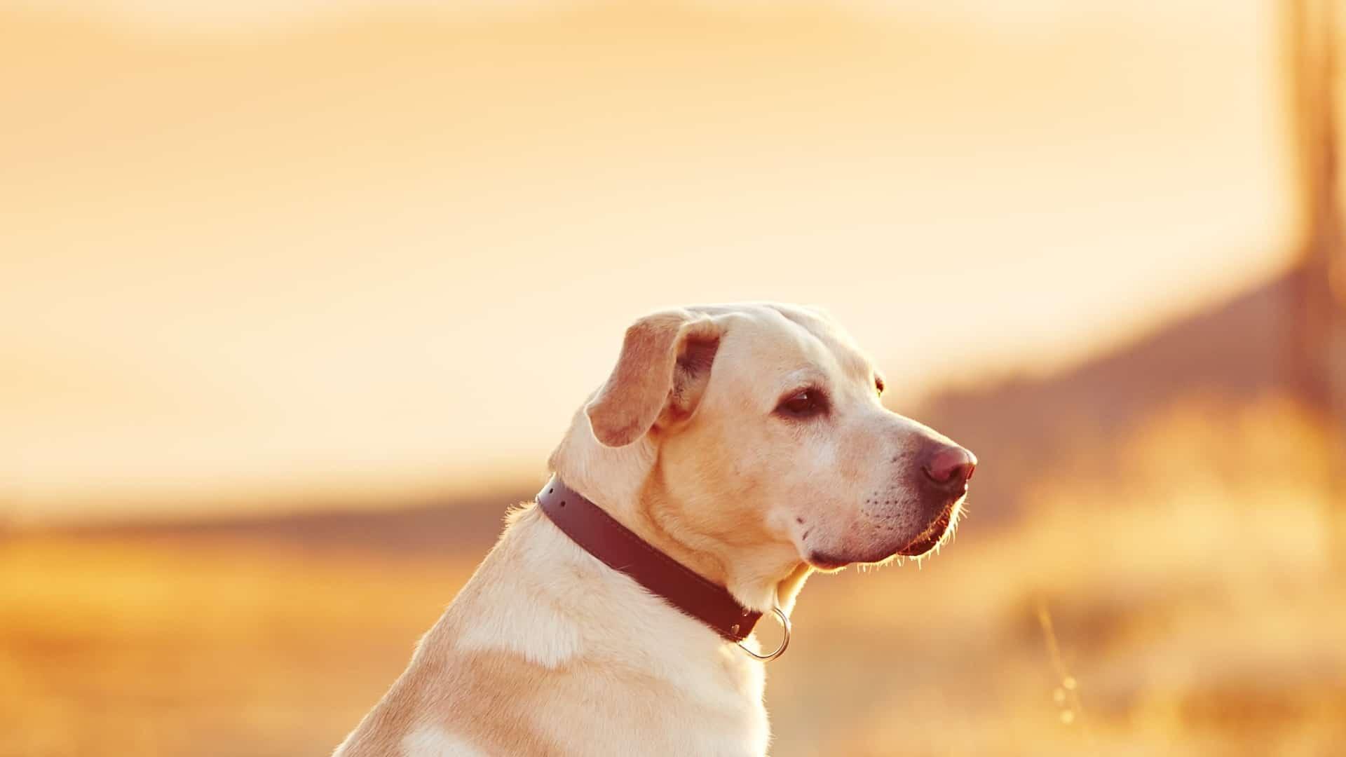 Miglior collare antipulci per cane 2020: Guida all'acquisto