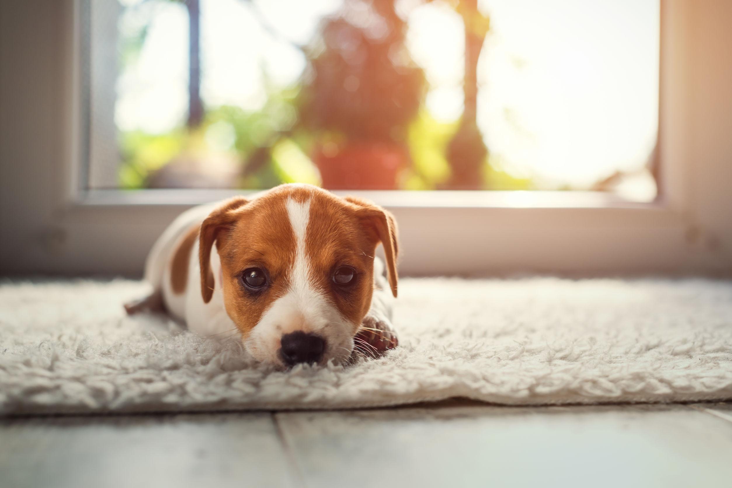 Cachorro acostado en sala de estar