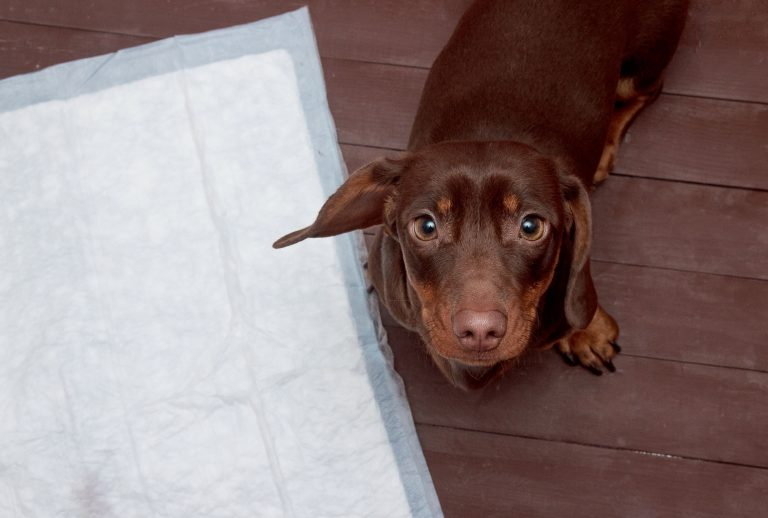 Perro salchicha sobre empapador para perros