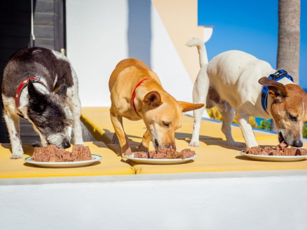 owner feeding a row of dogs with food bowls or plates, outside and outdoors, all at the same time