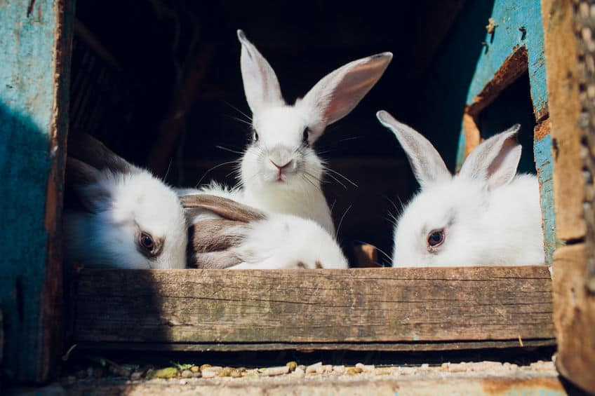 gabbia-per-conigli-xcyp1
