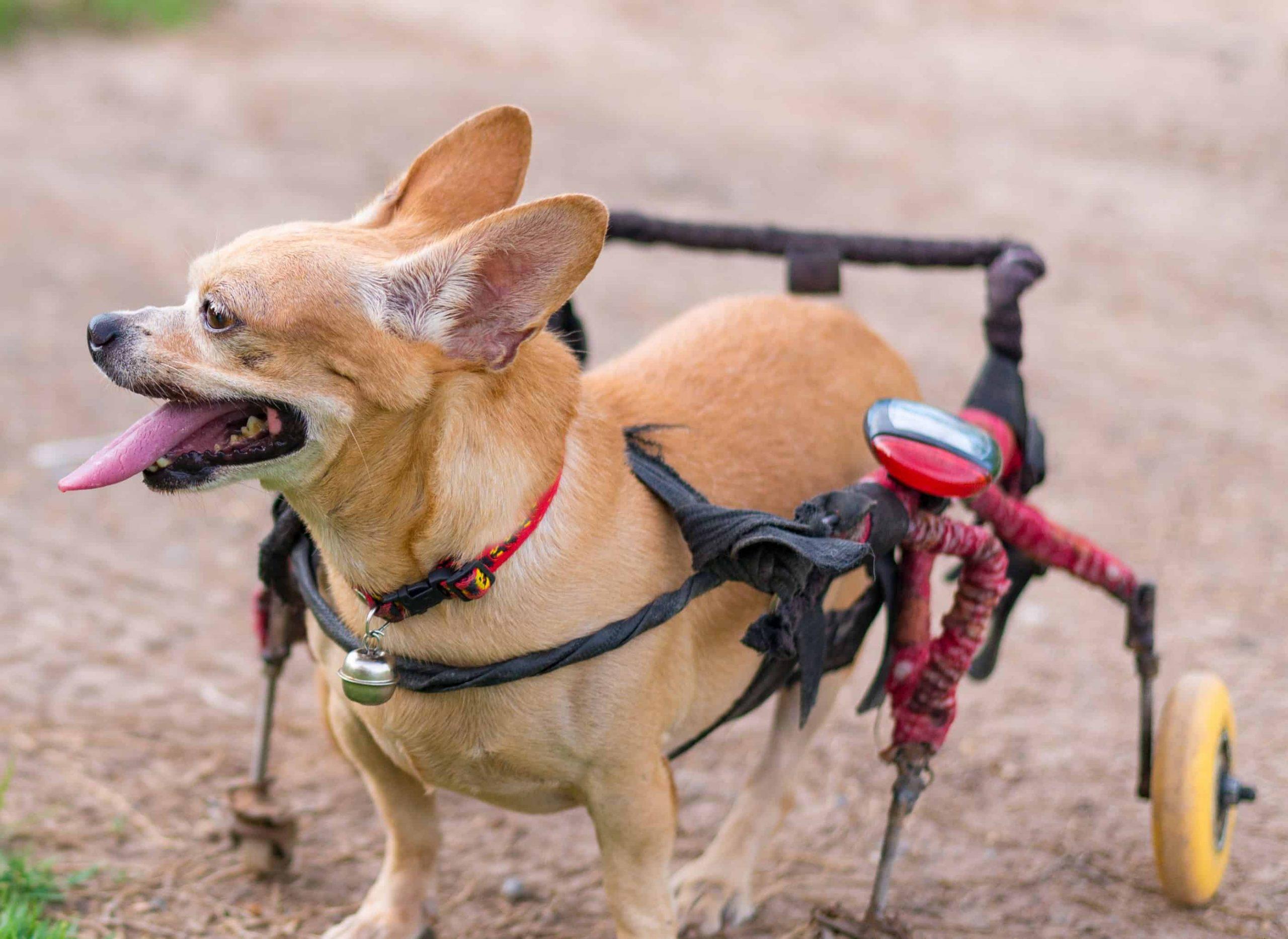 Miglior carrello per cani disabili 2021: Guida all'acquisto