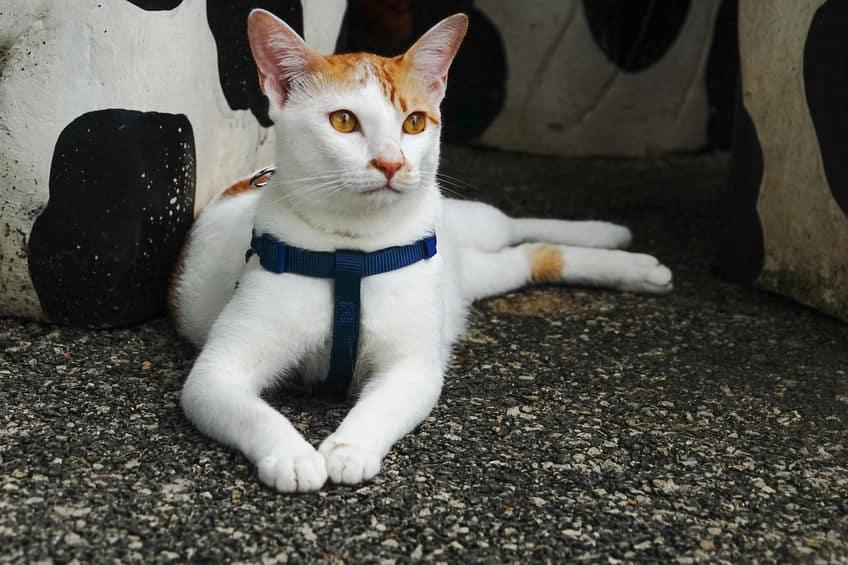 pettorina-gatto-particolare-xcyp1