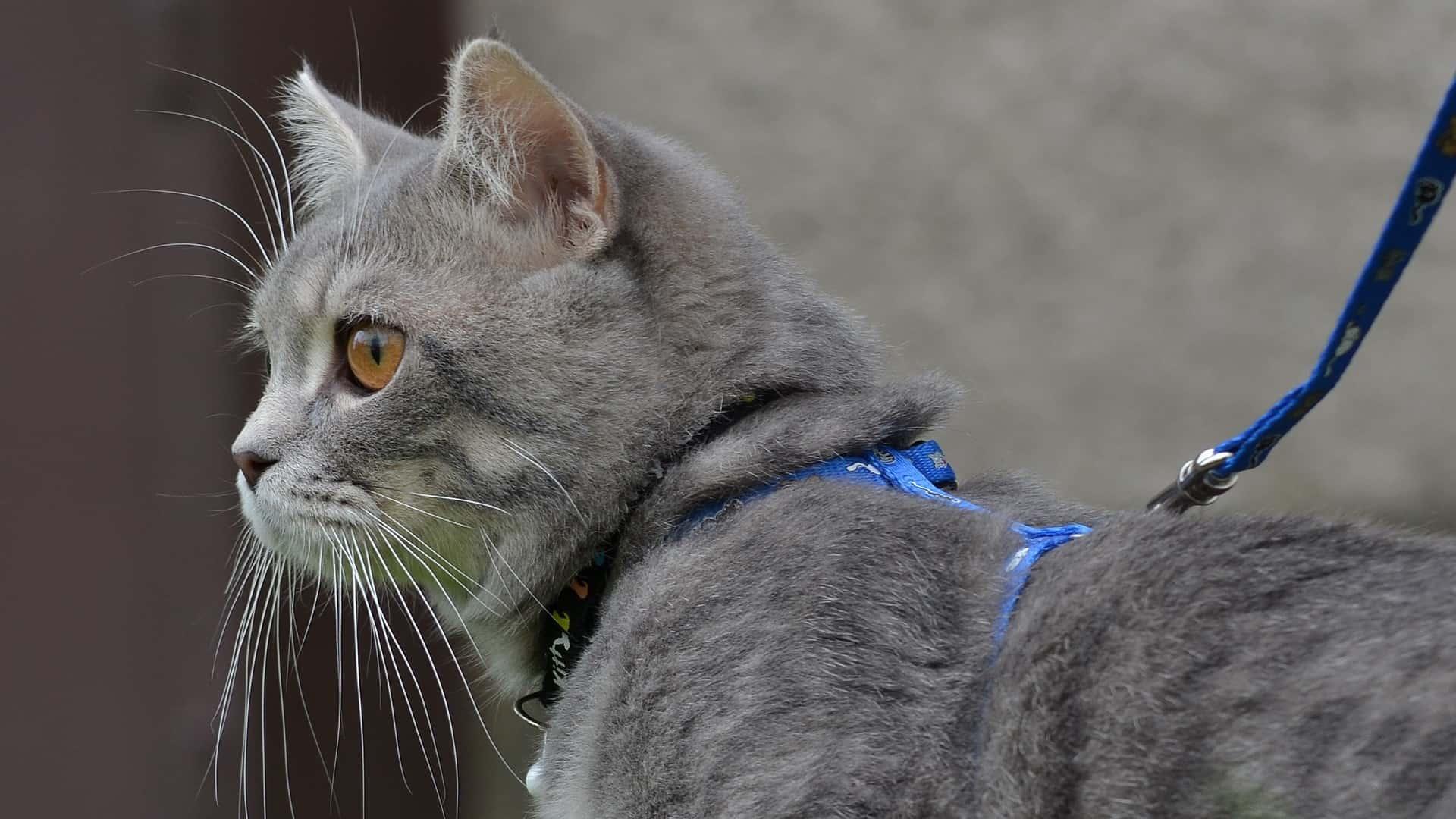 Miglior pettorina gatto 2020: Guida all'acquisto