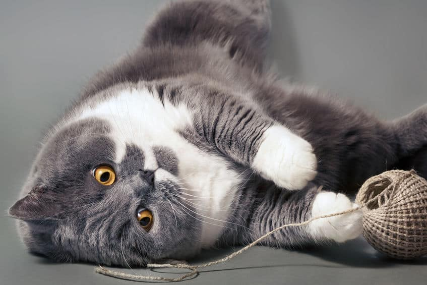 pettorina-gatto-terza-xcyp1