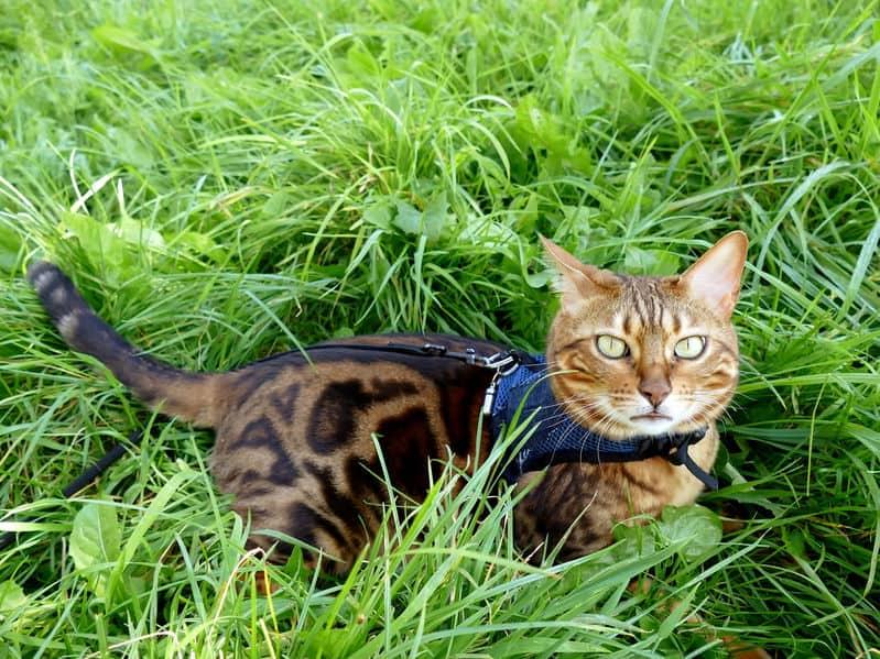 pettorina-gatto-prodotto-xcyp1