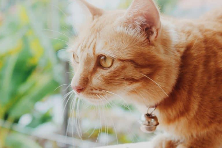 collare-per-gatto-prodotto-xcyp1