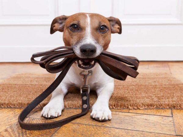 guinzaglio-addestramento-per-cani-principale-xcyp1