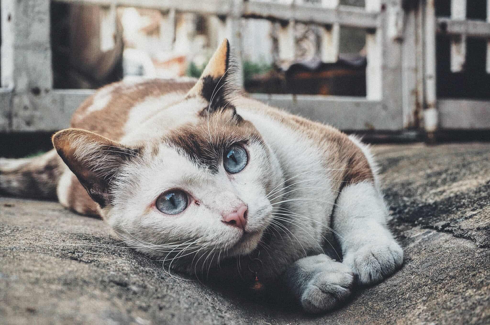gattaiola-gatto-xcyp1