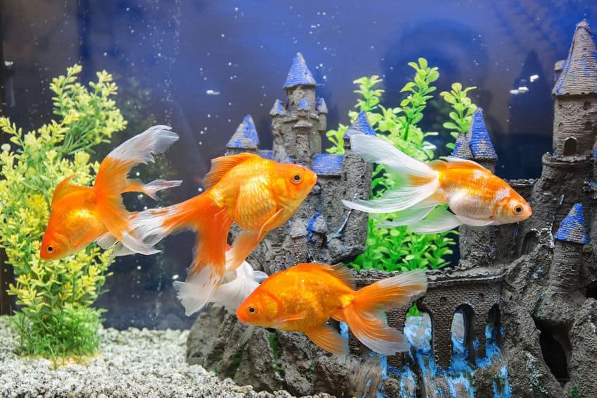 aquarium-for-goldfish-xcyp1