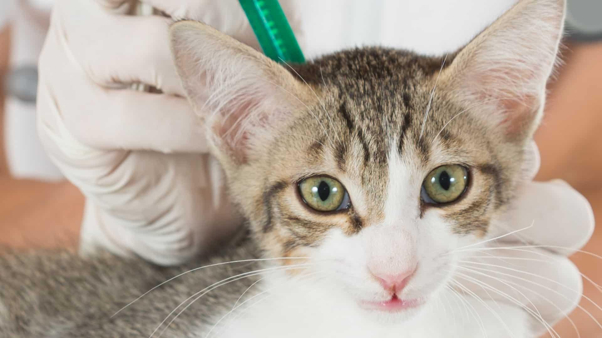 Migliori pipette antiparassitarie per gatti 2020: Guida all'acquisto