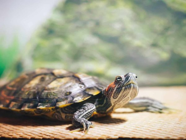 Red Eared Terrapin – Trachemys scripta elegans in the aquarium