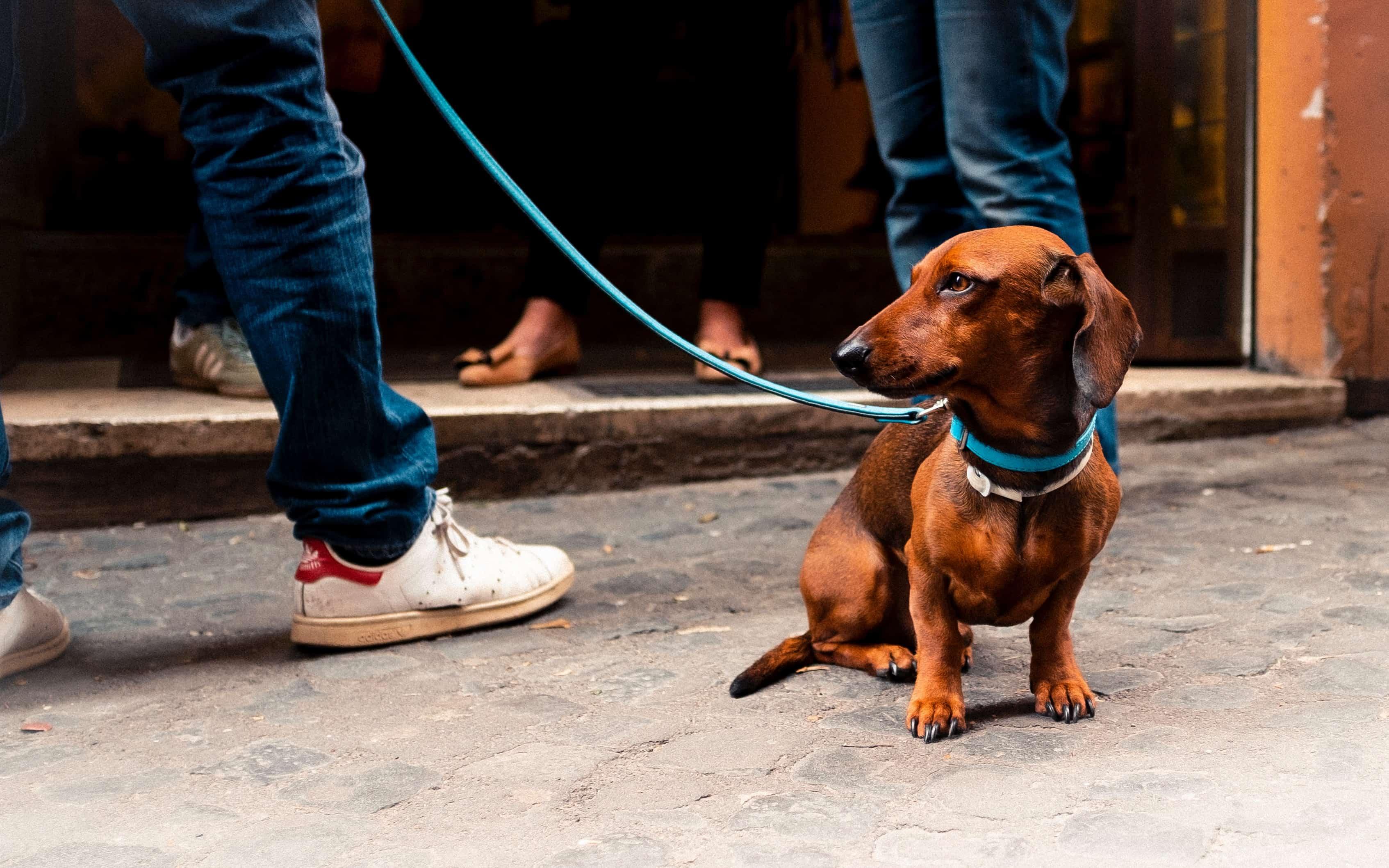 Guinzaglio per cane bassotto