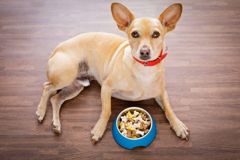 Un cane di razza piccola con del cibo in una ciotola