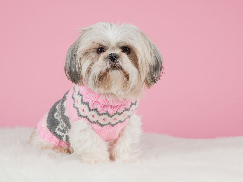 Shih tzu dog dressed in a knitted pink sweater at a pink backgro