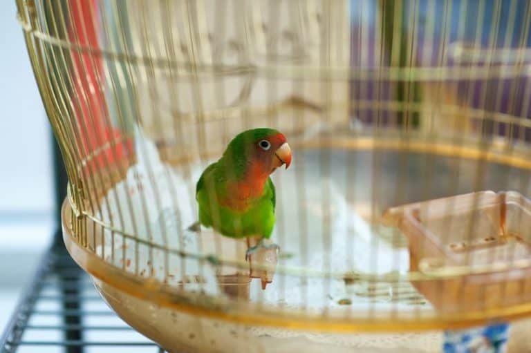 Pappagallo verde nella sua gabbia.