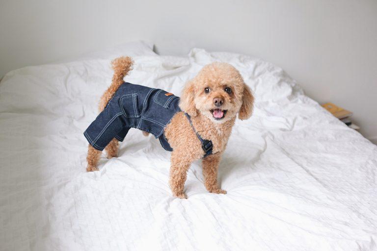 Perro con shorts