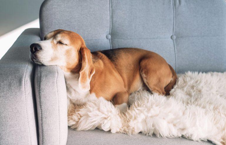 Perro en sillon