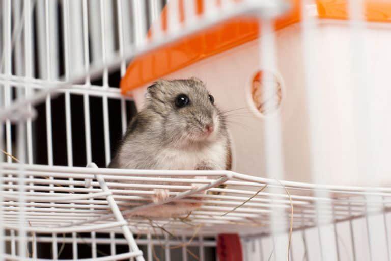 Un hámster pequeño en su jaula