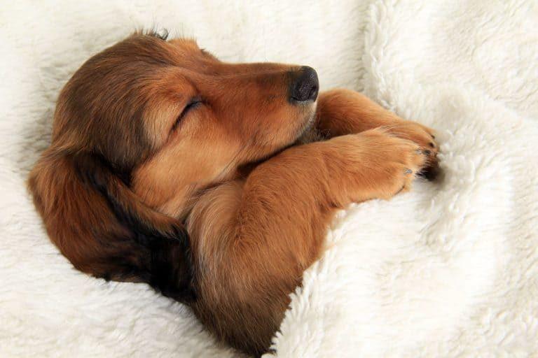 Perro duemiendo plácidamente