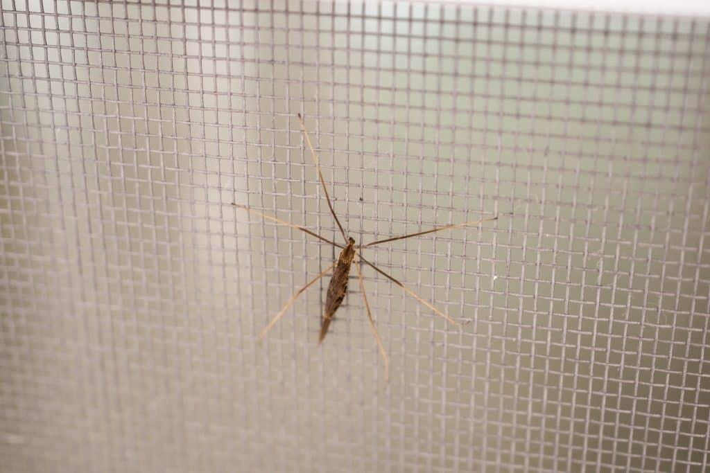 Imagem mostra uma tela mosquiteiro com pernilongo.