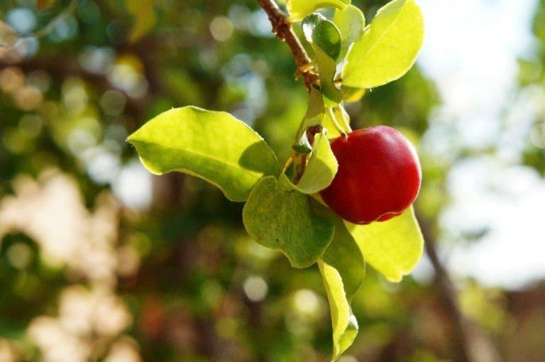Kirschähnliche Acerola Frucht an einem Ast hängend, Sonne scheint.