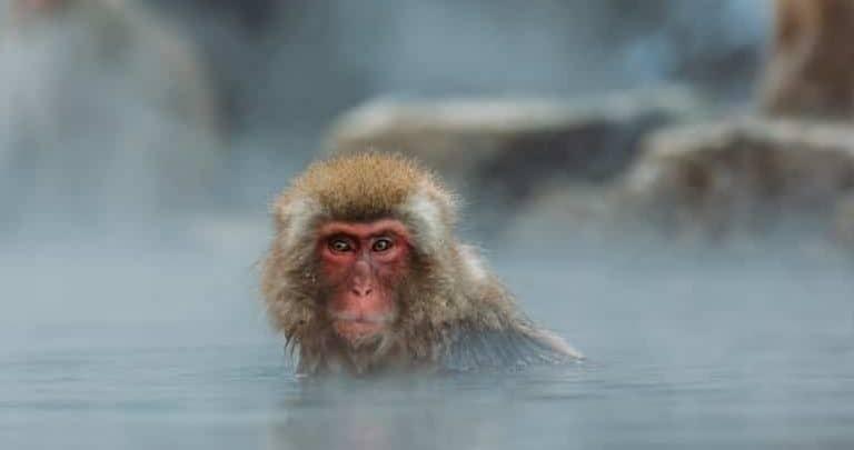 Japanischer Affe
